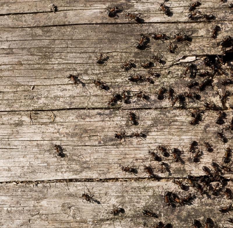 Remedio casero para combatir las hormigas invasoras